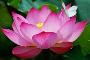 Egyptian-Lotus-Flower